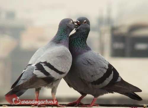 جدیدترین عکس های احساسی و دیدنی از کبوتران عاشق