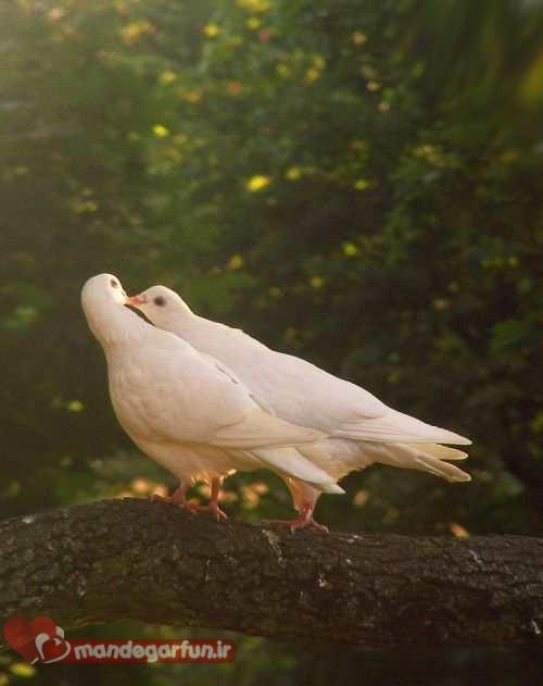 عکس های احساسی و دیدنی از کبوتران عاشق