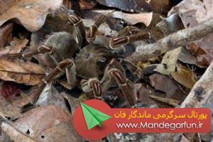کشف بزرگترین عنکبوت جهان + عکس