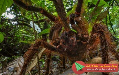 بزرگترین عنکبوت جهان کشف شد + عکس